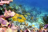 image of coral reefs  - caribbean coral reef in Mayan Riviera with Grunt fish yellow blue stripes - JPG
