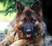 stock photo of german-sheperd  - fine portrait of young german sheppard long fur - JPG