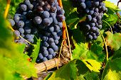 pic of wine grapes  - Red grapes on the vine at vineyard - JPG