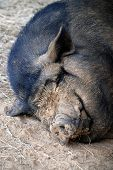 image of pot-bellied  - A muddy faced pot bellied pig taking a nap.