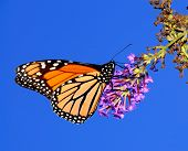 foto of butterfly flowers  - A beautiful monarch butterfly enjoying its lunch on a flower - JPG