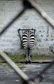 picture of derriere  - a shot of feeding zebra  - JPG