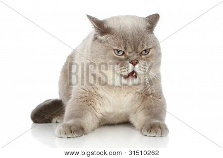 British Cat Lying On A White Background