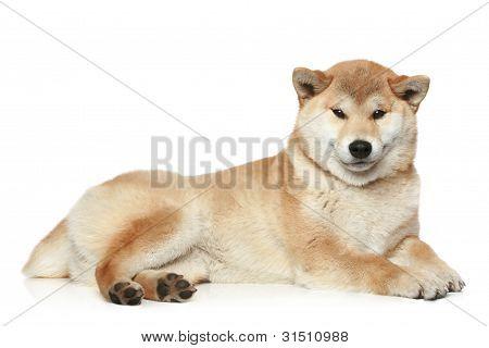 Shiba Inu Dog Lying