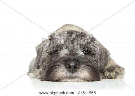 Miniature Schnauzer Puppy. Close-up