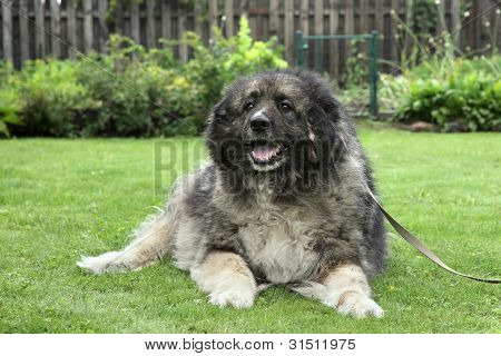Adult Caucasian Shepherd Dog On Grass