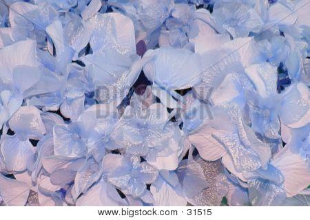 Blue Hydrangea Macro