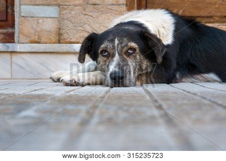 poster of Sad Dog Lying On Floor At Home. Cute Pet Looking At Camera. Adorable Black And White Dog Lying On A