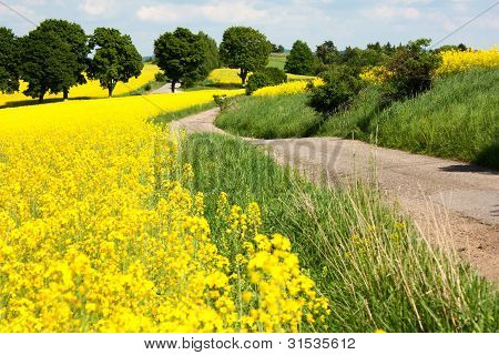 flowering yellow field of rapeseed - brassica napus