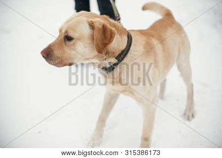 poster of Cute Golden Labrador Walking With Owner In Snowy Winter Park. Mixed Breed Labrador On A Walk With Pe