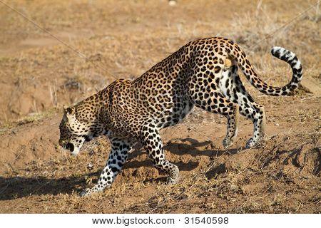 Walking Leopard