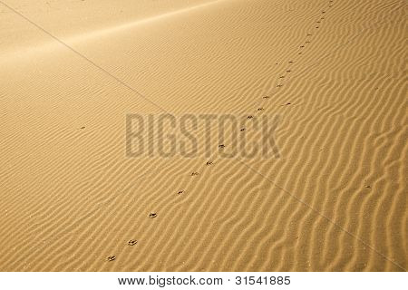 Coyote Tracks On Desert Sand Dune