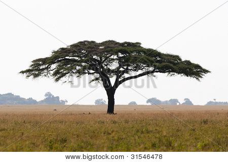 Serengeti Acacia Tree