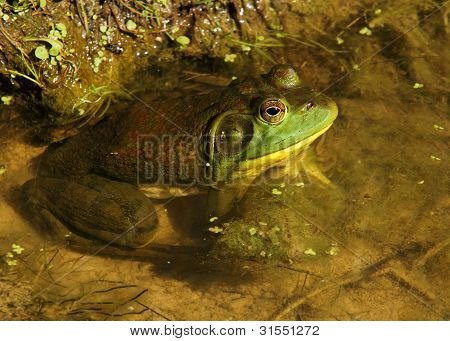 A bullfrog in a pond