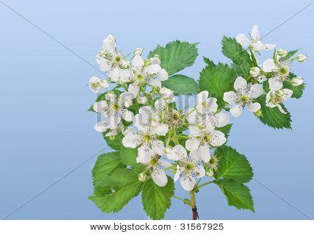 Flowers Of A Garden Blackberry