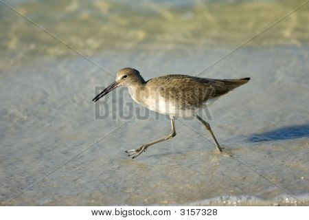 Willet With Lunch In His Beak