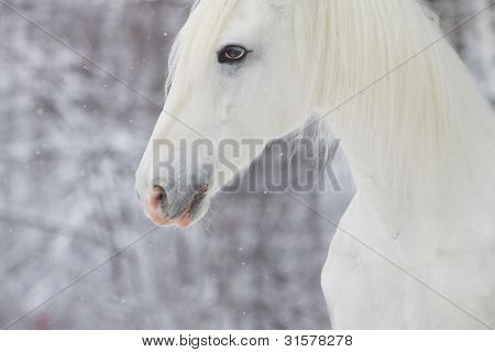 White Beautiful Horse