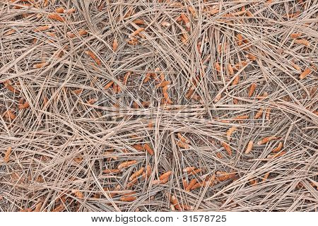 Background Texture Of Dry Pines
