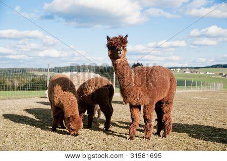 Group of brown alpacas