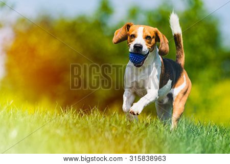 poster of Beagle Dog Runs Through Green Meadow With A Ball. Copy Space Domestic Dog Concept. Dog Fetching Blue
