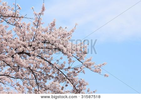 Full Bloomed Cherry Blossoms