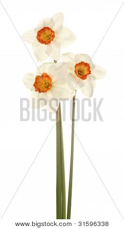 Three Stems Of Pink And White Daffodis