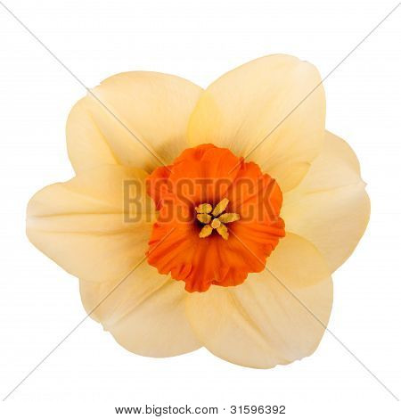 Single Flower Of A Daffodil Cultivar Against A White Background
