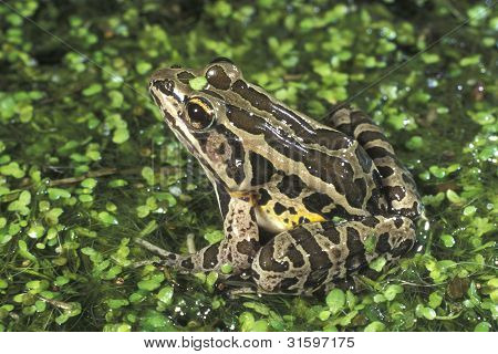 Pickerel Frog & Duckweed