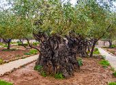 picture of gethsemane  - Olives Jerusalem  - JPG