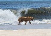 A Very Wet Golden Retriever Dog Is Walking Along The Water Looking For His Stick While Playing Fetch poster