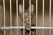 Adorable Tabby Kitten In A Shelter Kennel Looking Out From Behind The Bars. poster