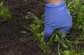 Hand Of Female Gardening Weeding Weed Plants Grass In Vegetable Beds Of Onion Close Up. Control Of W poster
