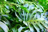 Monstera Plant Tropical Green Leaves Greenery Background. Hawaiian Monstera Branches & Leaves Jungle poster