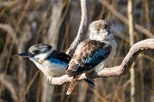 stock photo of blue winged kookaburra  - I captured this photo of kokaburra in Prague ZOO