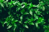 Mint Grows In The Garden. Mint After Rain. The Bushes Are Different And Very Fragrant Mint. Fresh Mi poster
