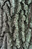Bark Of Old Linden Tree. Relief Bark Is Like View High Mountains From Above. Old Bark Texture poster