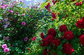 Bush Of Fluffy Pink And Red Roses In Sunny Day. Romantic Florets On Green Leaves Background In Garde poster