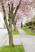 stock photo of tree lined street  - Cherry Trees in full bloom lined up on sidewalk with green grass - JPG