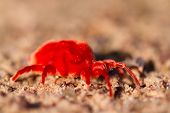 picture of mites  - A macro photograph of a bright red velvet mite - JPG