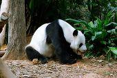 Pandas playing and eating in a natural enclosure poster