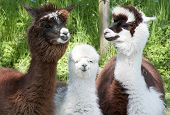 stock photo of alpaca  - Three different alpacas colored brown and white