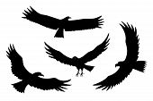 Flying Eagle, Falcon And Hawk Black Silhouette Bird Set. Vector Bird Predator In Flying Poses For Sy poster