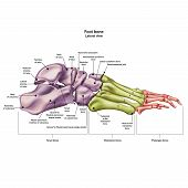 Bones Of The Human Foot With The Name And Description Of All Sites. Lateral View. Human Anatomy. Vec poster