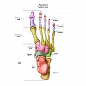 Bones Of The Human Foot With The Name And Description Of All Sites. Superior View. Human Anatomy. Ve poster