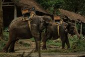 Herd of tame elephants. Elephants with sitting on a back for transportation of passengers are having poster