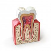 Dental tooth anatomy. Cross section of human tooth isolated on white. 3d illustration poster