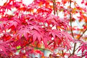 Red Maple Tree. Autumn Is Coming. Vibrant Maple Leaves Close Up. Autumnal Background. Branch Maple L poster