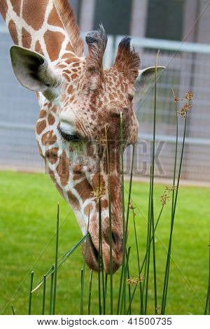 Giraffe Lunch 3