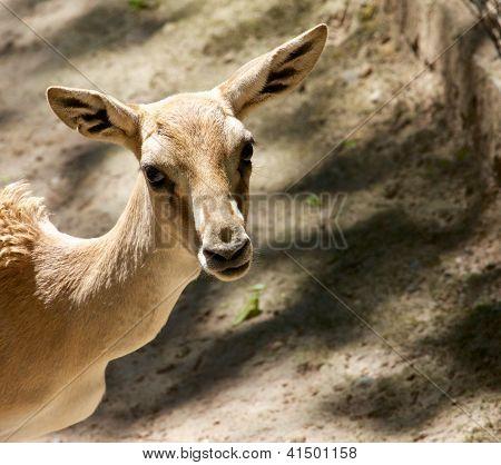 Goitered Gazelle 3