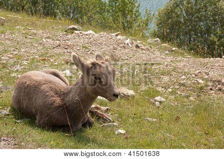 Juvenile Big Horn Sheep